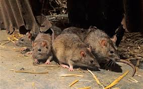 Pest Control - Rodents