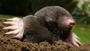 Pest COntrol - Moles